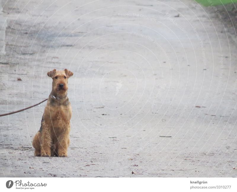 Airedale Terrier Animal Pet Dog 1 Sit Wait Brown Gray Dog lead Leashed Watchfulness Lanes & trails Colour photo Exterior shot Deserted Copy Space right