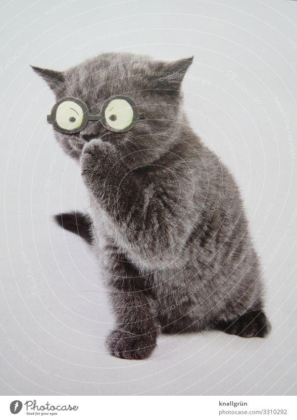 Cat White Animal Gray Communicate Cute Eyeglasses Curiosity Pet Cuddly Kitten