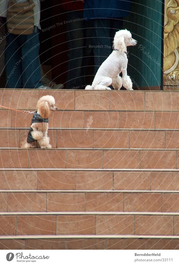 Pudel on the stairs Poodle White Hair and hairstyles Attract Dog Leashed Stairs Wait Purebred dog Embellish Dog lead