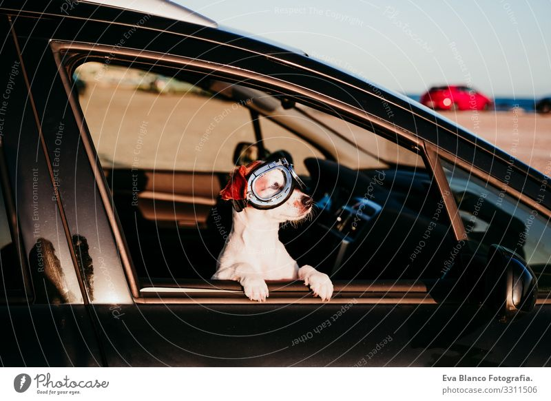 cute dog traveling in a car wearing vintage goggles at sunset Jack Russell terrier Dog Car Vacation & Travel Trip Joy Cute Small Delightful Sunset Beach