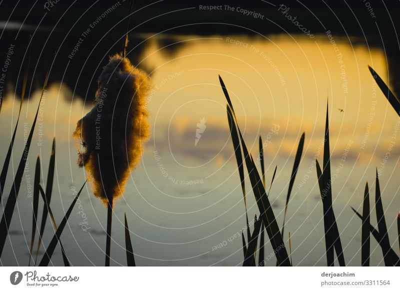 Reed mace at the pond Joy Harmonious Hiking Nature Beautiful weather Cattail (Typha) Bavaria Germany Deserted Plant Observe Discover To enjoy Looking Illuminate