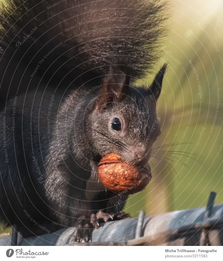 Squirrel with nut in mouth Nature Animal Sunlight Beautiful weather Wild animal Animal face Pelt Claw Paw Head Eyes Ear Muzzle Tails 1 To hold on To feed