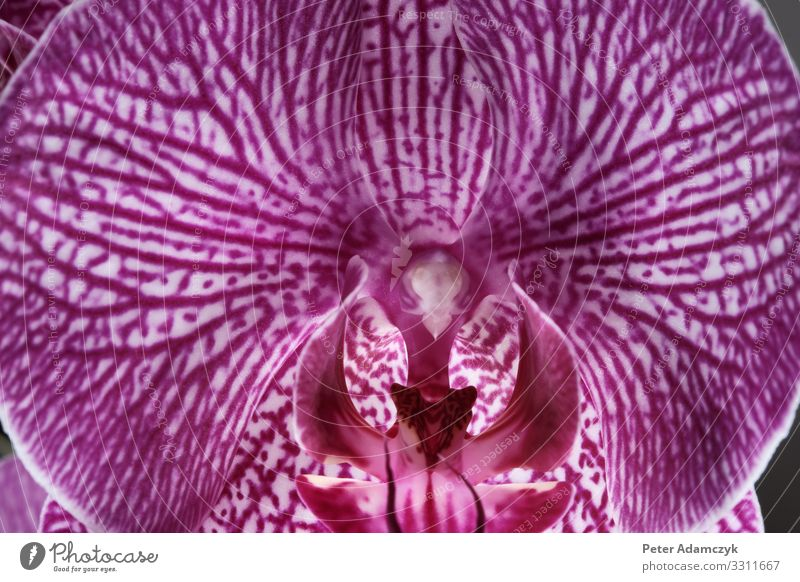 "Flower of a magenta coloured butterfly orchid Plant Orchid Blossom Pot plant Exotic ""Butterfly Orchid Phalaenopsis,"" Beautiful Violet Pink White Esthetic Pistil"