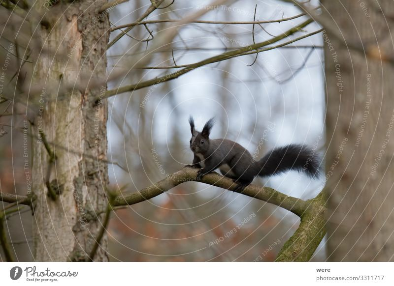 European brown squirrel in winter coat on a branch Nature Animal Wild animal 1 Soft Squirrel branches copy space cuddly cuddly soft cute european squirrel