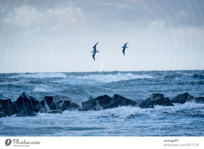 2 seagulls and sea Elements Earth Air Water Sky Autumn Bad weather Storm Gale Waves Coast Baltic Sea Animal Wild animal Bird Seagull Flying Threat Blue Ocean