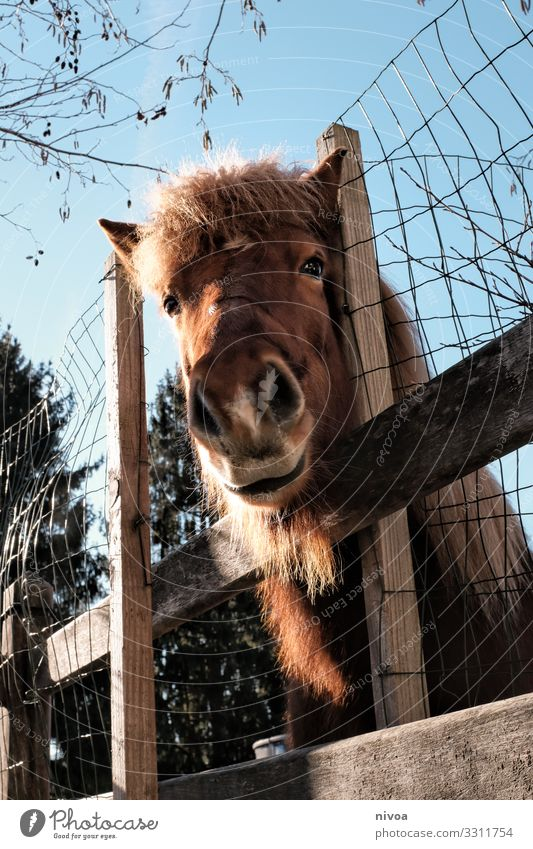 Icelandic fox looks over the fence Icelander Horse Bangs Icelandic horse Fence Colour photo Animal portrait Day Deserted Iceland Pony Exterior shot Nature