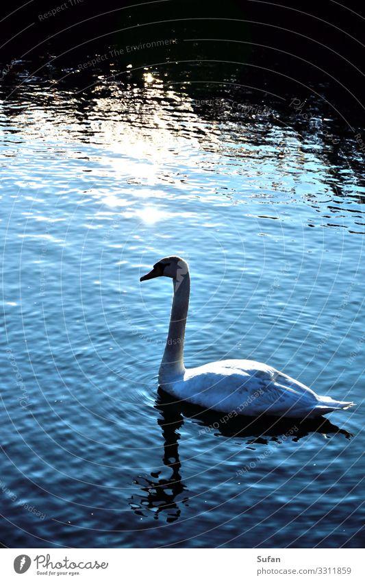 swan king Environment Nature Animal Water Sunrise Sunset Lake Swan 1 Observe Discover Swimming & Bathing Dive Esthetic Wet Blue Black Silver White