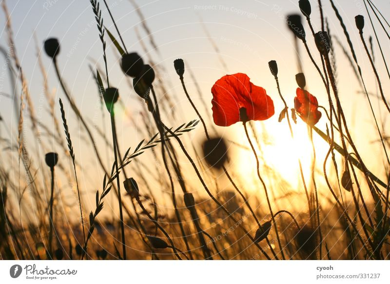 Golden Time Summer Beautiful weather Flower Meadow Field Blossoming Fragrance Illuminate Faded To dry up Growth Hot Bright Dry Warmth Red Contentment