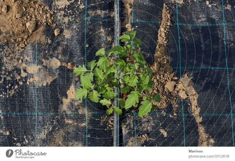 Tomato plant with plastic sheet covered the ground Vegetable Summer Garden Gardening Industry Nature Plant Earth Leaf Agricultural crop Growth Fresh Natural