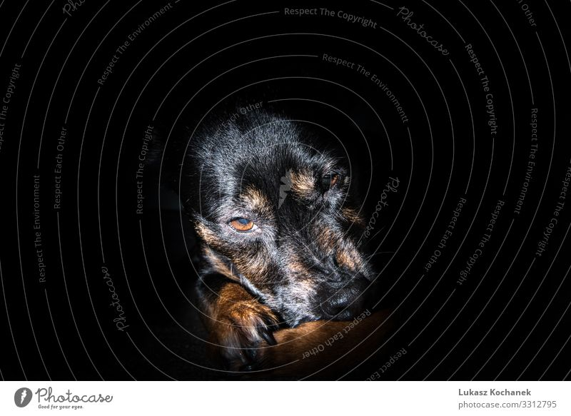 Old black dog isolated on black background - sad pet Beautiful Face House (Residential Structure) Wallpaper Work and employment Friendship Nature Animal