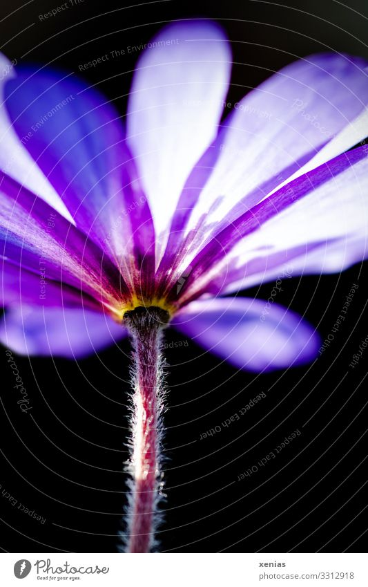 violet anemone from the frog's eye view Spring Flower Blossom Anemone Spring flower Garden Blossoming Beautiful Small Violet Black radiation anemone