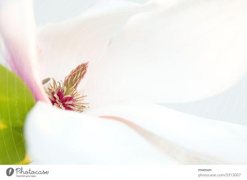 magnolia Harmonious Senses Nature Spring Plant Tree Blossom Spring colours Magnolia blossom Friendliness Fresh Bright White Esthetic Elegant Colour photo