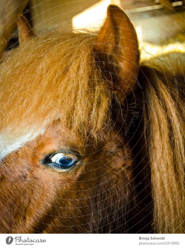 Profile of a pony with blue eyes Ride Pet Horse Pelt Iceland Pony Glittering Smiling Looking Authentic Exceptional Brash Happiness Fresh Healthy Astute Funny