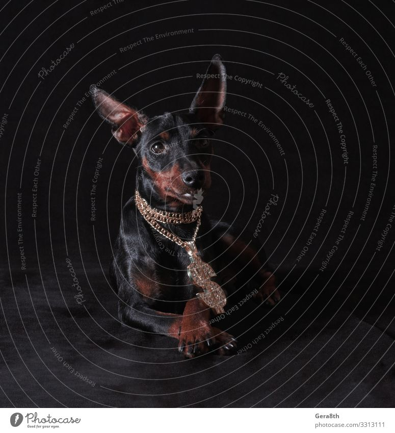 black and tan miniature pinscher puppy Animal Pet Dog Metal Rich Gold big black background Breed Crossed crystal flash glamour gold chain gold pendant Hip-hop
