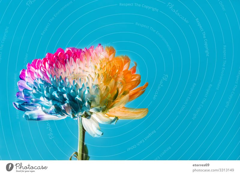 Multicolored flower on blue background Summer Plant Blue Colour Beautiful Red Flower Yellow Spring Copy Space Orange Pink Seasons Blossom leave Rainbow