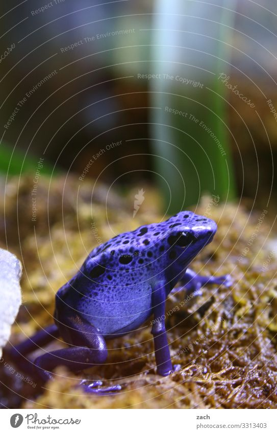 Blue Animal Meadow Field Sit Exotic Disgust Frog Poison Amphibian Arrow poison frog