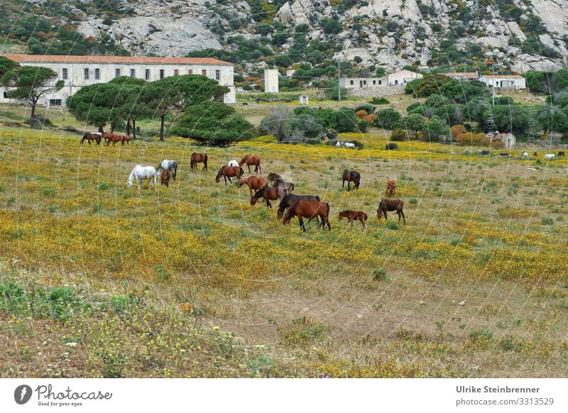 Wild horses on the Sardinian island of Asinara equus ferus Nature reserve National Park nature conservation Herd Animal protection Free-living naturally