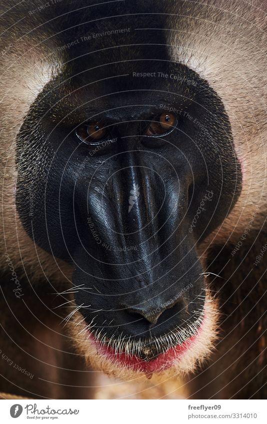 Closeup of a mandrill face Face Nature Animal Wild animal Zoo 1 Old Think Funny Smart Protection Loneliness mandrillus leucophaeus Mandrill Monkeys Intellect