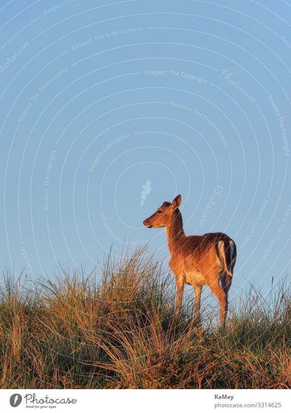 Fallow deer in the evening light Animal Cloudless sky Spring Beautiful weather Hill Dune Wild animal cervinae 1 Looking Stand Blue Brown Nature Environment Deer