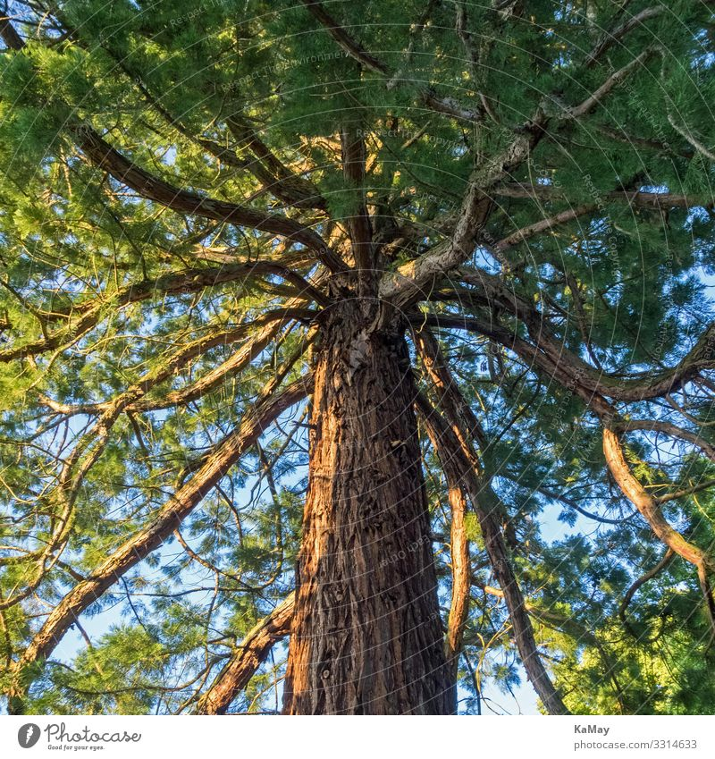 Sequoia Nature Plant Tree Wild plant Exotic Park Forest USA Americas Natural Green Environment Redwood Cypress Botany Square Colour photo Exterior shot Deserted