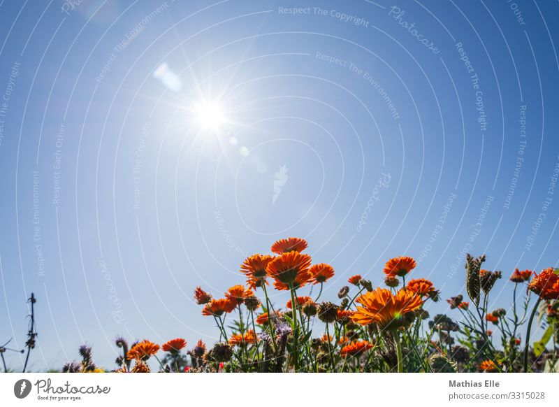 Field with summer flowers in sunlight Garden Environment Nature Landscape Plant Animal Sky Cloudless sky Sun Sunlight Summer Autumn Beautiful weather Warmth
