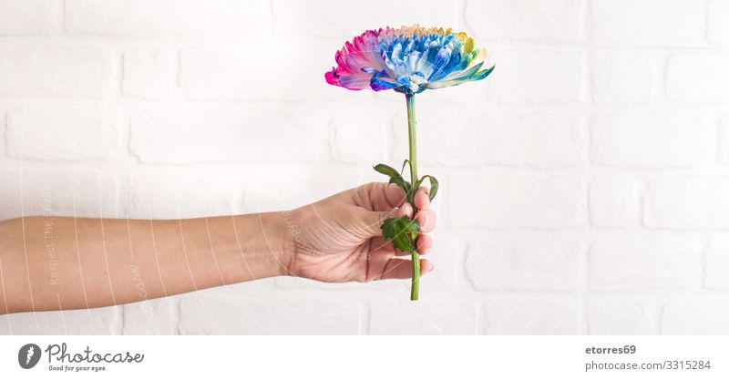 Multicolored flower in female hand on white wall background. Woman Summer Plant Blue Colour Beautiful Red Hand Flower Life Yellow Spring Orange Pink Decoration