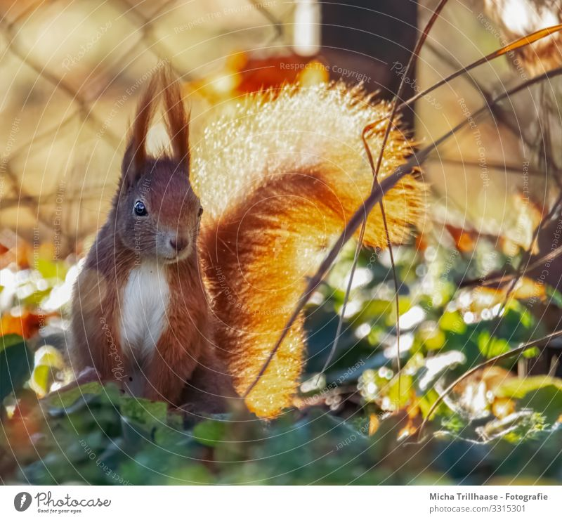 Squirrels in the sunshine Nature Animal Sun Sunlight Beautiful weather Leaf Twigs and branches Wild animal Animal face Pelt Head Ear Eyes Nose Muzzle 1 Observe
