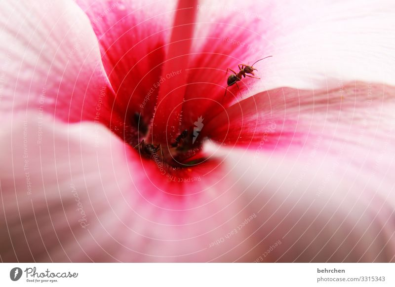hibiscus sniffing ants blossom fragrances petals Small Crawl Flower Blossom Plant Nature Colour photo Garden Exterior shot Close-up Summer Deserted Day Natural