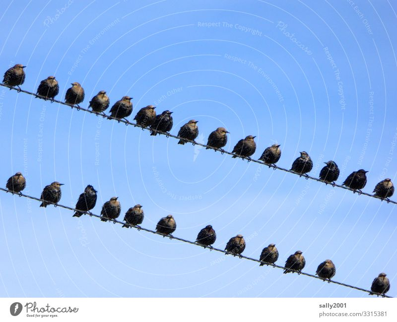 Star group formation... Starling Bird Flock of birds Migratory bird Wire power line Sit gather sb. amass Sky Animal Group of animals communication Attachment