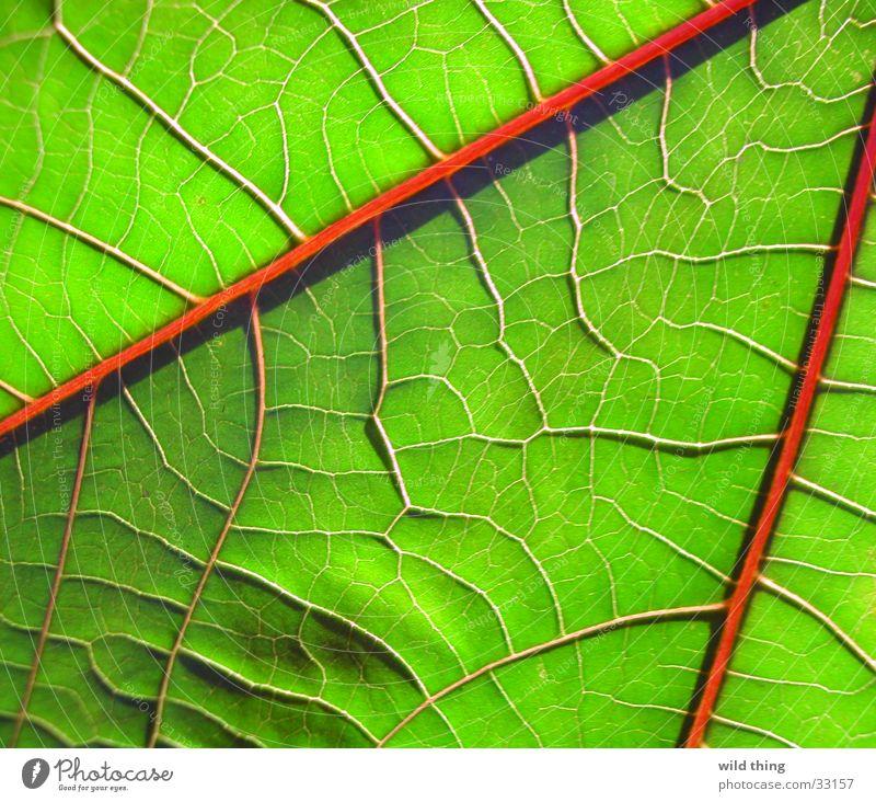 leaf Leaf blad nerf veinous