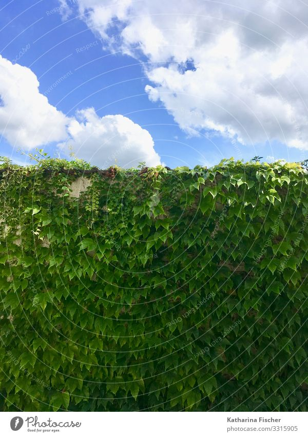 The green wall Environment Nature Animal Sky Clouds Spring Summer Autumn Climate Beautiful weather Plant Ivy Leaf Foliage plant Illuminate Growth Blue Green