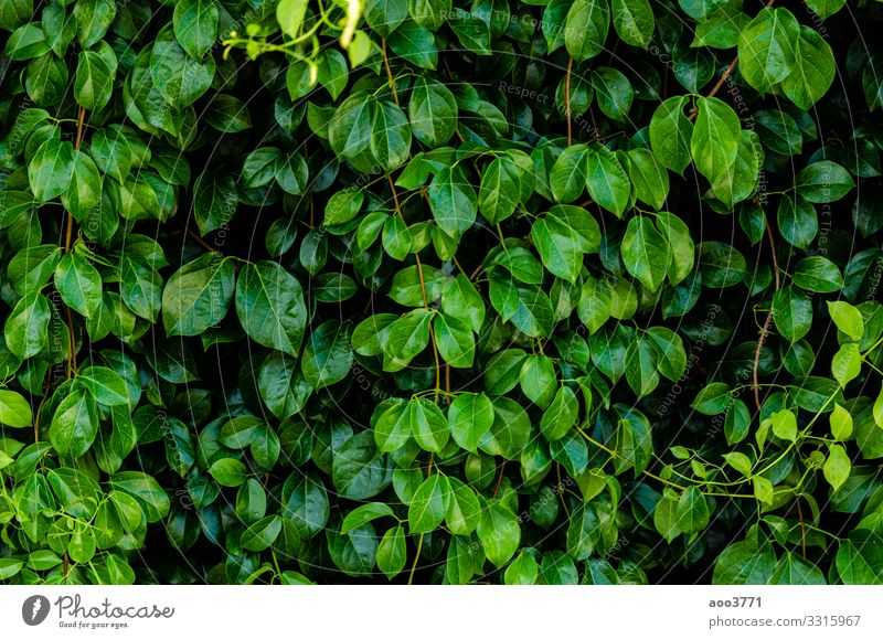 Green leaf background Nature Summer Plant Colour Beautiful Tree Leaf Forest Dark Environment Natural Small Garden Design Bright