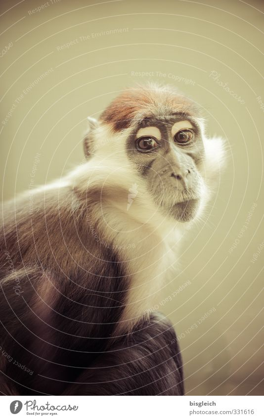 guenon Animal Animal face Pelt Monkeys Long-tailed monkey 1 Looking Sit Brown White Colour photo Subdued colour Interior shot Deserted Copy Space top