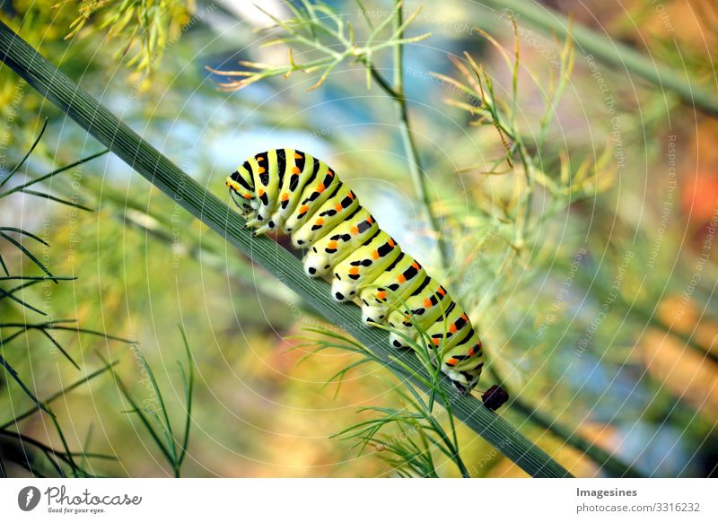 Caterpillar of the butterfly swallowtail Papilio machaon on fresh green dill Anethum graveolens in the garden. Caterpillar on dill. Butterfly caterpillar known as the common yellow swallowtail.