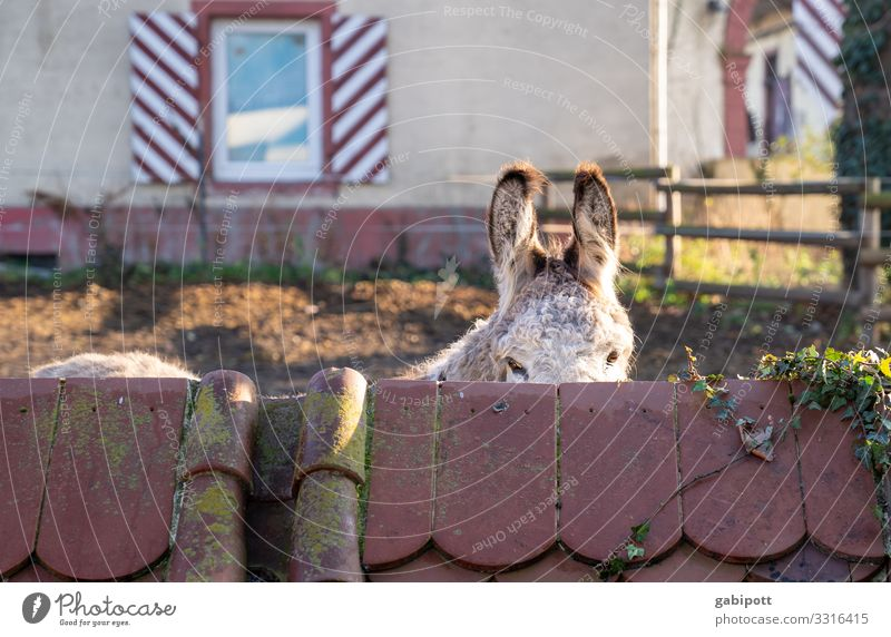 Nature Animal Communicate Observe Living thing Ear Listening Cuddly Courtyard Timidity Farm animal Donkey Love of animals Dog-ear Riding stable