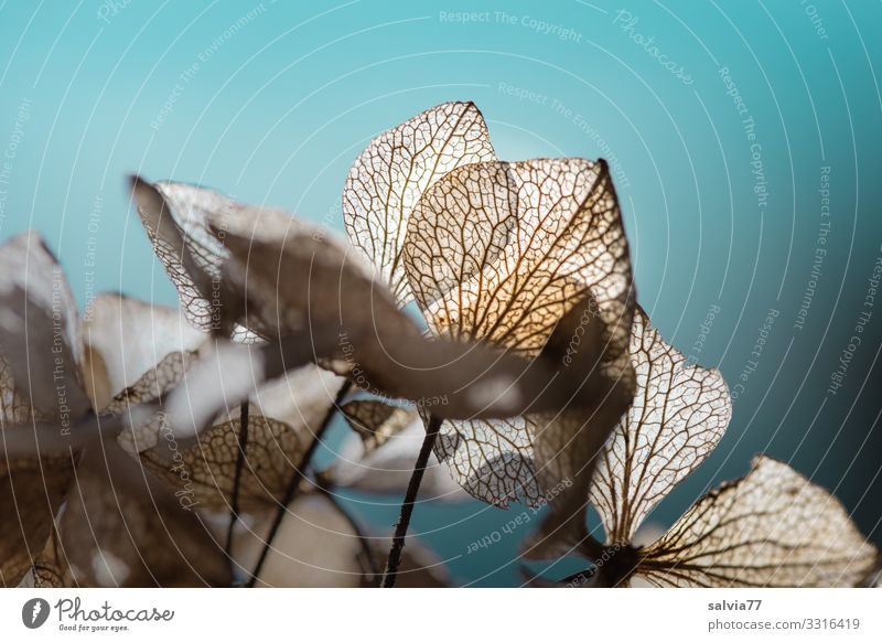 faded hydrangea blossoms in the backlight Hoetensie Hydrangea Blossoms Plant Nature Transience Structures and shapes Back-light Colour photo Faded Autumn Leaf