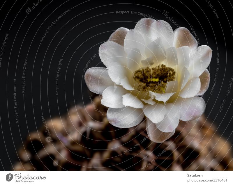 White and light brown color delicate petal of Cactus flower Beautiful Summer Garden Decoration Gardening Nature Plant Flower Growth Fragrance Fresh Natural