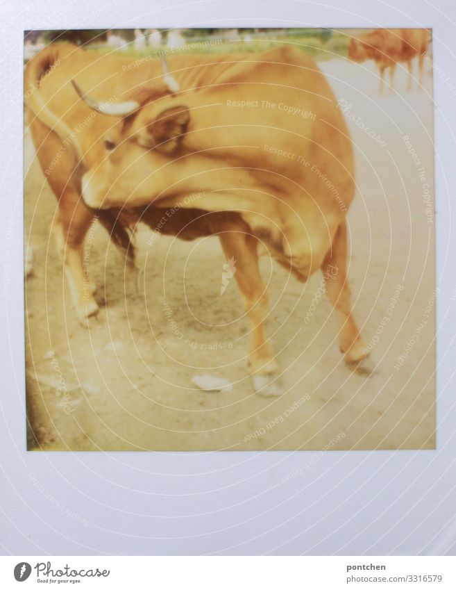 Polaroid of a cow cleaning herself with her tongue. agriculture, livestock.livestock Animal Farm animal Cow 1 Dirty Bull Cattle Agriculture Bullock Itch Allgäu