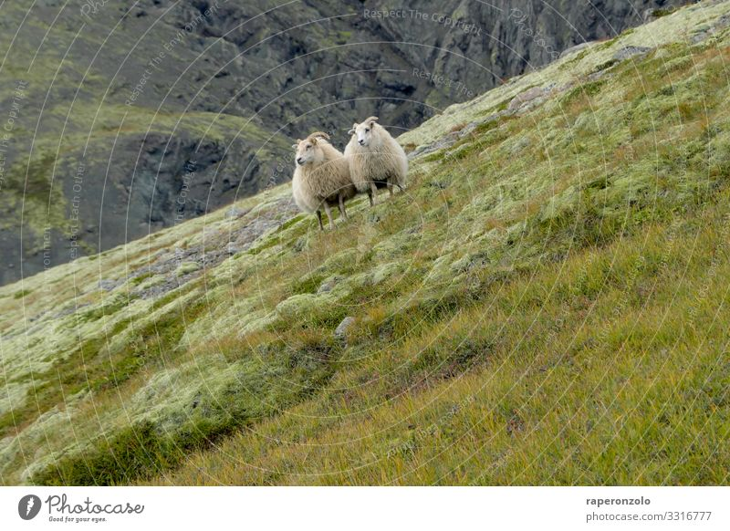 two sheep stand close together on a steeply sloping slope animals Iceland Landscape Nature Meadow Farm animal Exterior shot Deserted Colour photo Slope Grass