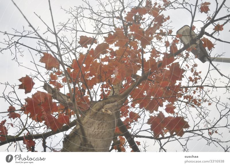 look up Tree Tree trunk Branch Leaf Autumn leaves Weather Seasons red foliage Autumnal Twig Street lighting Upward Sadness Calm Stagnating Nature