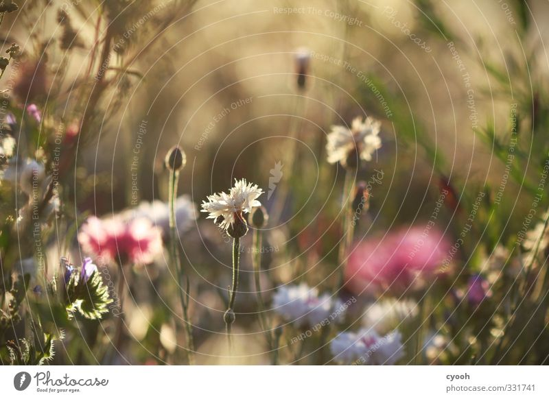 immersion Nature Summer Flower Blossom Wild plant Meadow Field Touch Blossoming Fragrance Illuminate Dream Faded To dry up Growth Bright Beautiful Dry Warmth