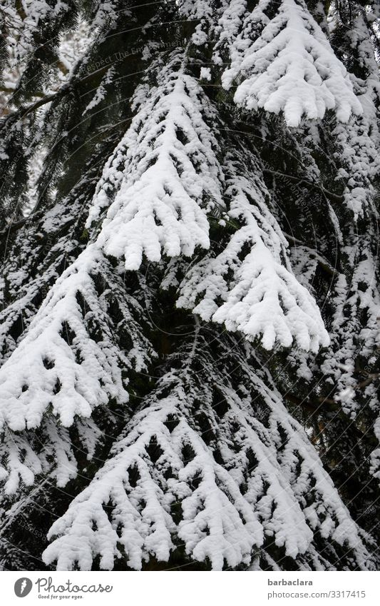 black and white conifer Nature Plant Winter Ice Frost Snow Tree Spruce Fir tree Stand Esthetic Dark Bright Tall Cold Black White Bizarre Climate Survive