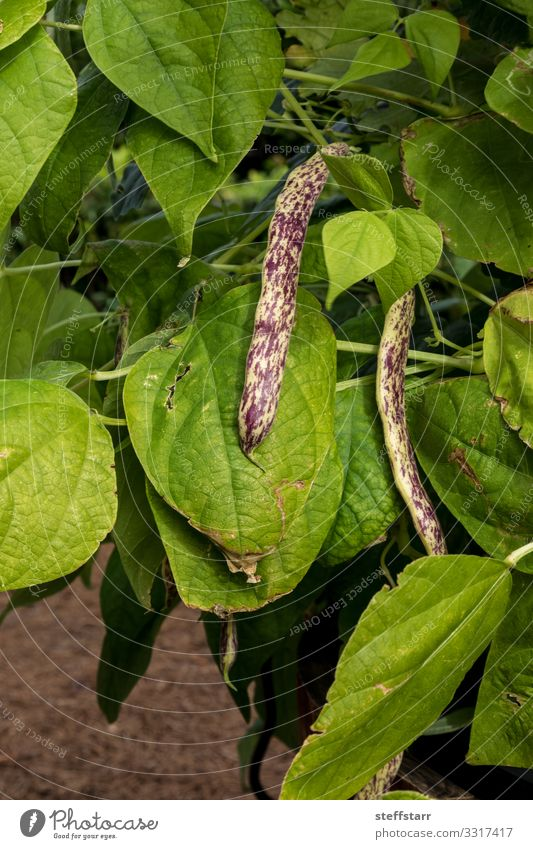 Purple and yellow dragon tongue beans Phaseolus vulgaris Vegetable Healthy Eating Garden Nature Plant Natural Yellow Green Violet Beans Speckled wax bean