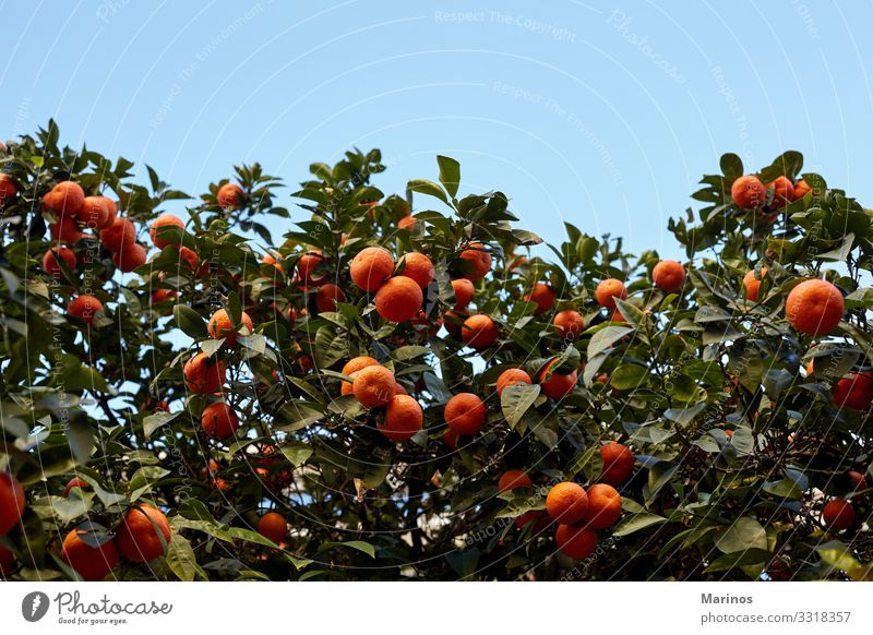 Mandarin tree full of fruits. Fruit Garden Nature Tree Leaf Growth Bright Green Orange mandarin year chinese citrus Valencia tangerines food mandarine Tangerine