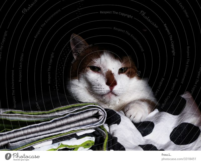 Cat Beautiful Animal Calm Living or residing Dream To enjoy Bedclothes Domestic cat Pet Safety (feeling of) Cuddly Bedroom Closet