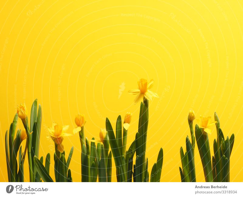 Beautiful daffodils against a yellow background Life Winter Valentine's Day Easter Nature Plant Spring Flower Beginning Advancement Growth many narcissus root