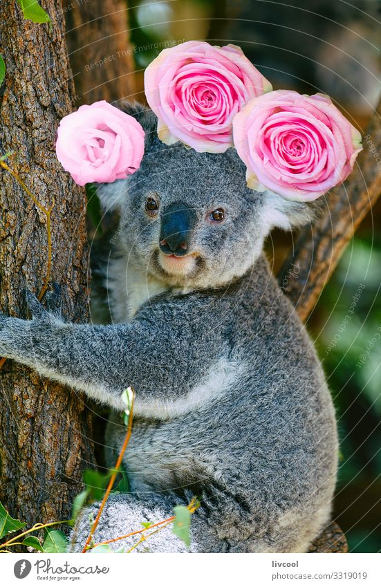 koala with crown of roses, australia Vacation & Travel Trip Adventure Family & Relations Group Nature Animal Tree Flower Rose Leaf Forest Wild animal 1 Sleep