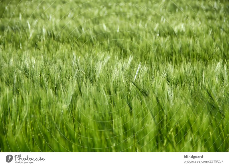 beer in the making. Barley on a field in joyful expectation of becoming a barley hop brew. Beer Bread food products Grain Agriculture Ear of corn Field Plant