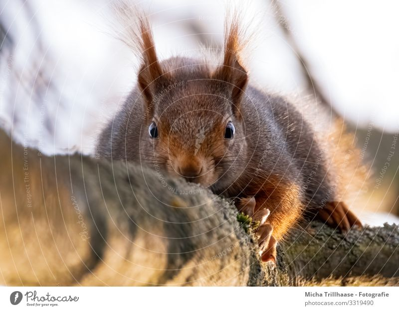 Watched by a squirrel Nature Animal Sky Sunlight Beautiful weather Flower Twigs and branches Wild animal Animal face Pelt Claw Paw Squirrel Head Eyes Ear Nose 1