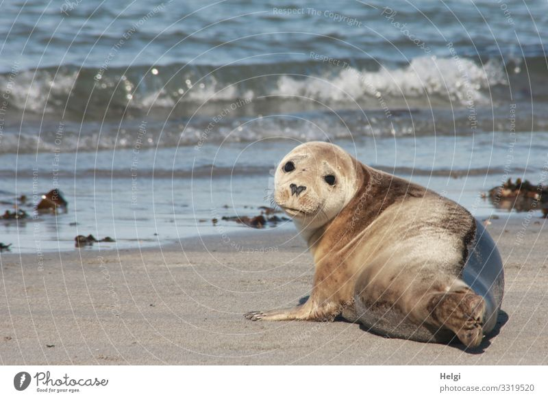 Seal lies on the beach of the dune of Helgoland Environment Nature Landscape Animal Water Summer Beautiful weather Waves Coast Beach North Sea Island